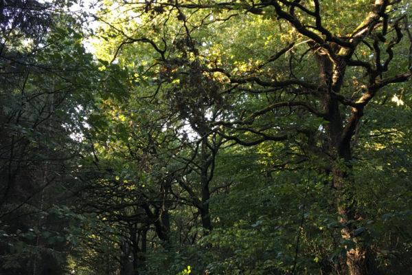 gamle egetræer Landbonuseet Kolding MOOS LANDSKABER